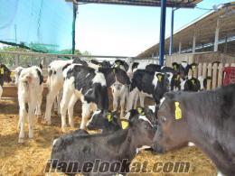 Yüce Besi Çifliği Buzalı Süt İnekleri Besilik Danalar Düveler Satılıktır