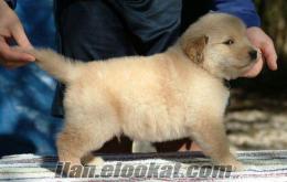 Mükemmel Golden Retriever Köpek Şimdi Hazır