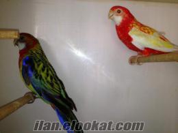 İstanbul Eyüp rozella papağanı