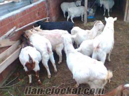 Denizli Bozkurtda saanen keçileri