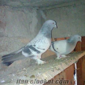 Satılık oyun kuşları sivas