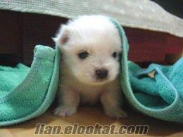 yavru safkan beyaz fino köpeği arıyorum.