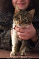 ACIL dost canlisi erkek kediye yuva araniyor