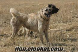 satılık kangal yavru kangal boguş köpekleri sivas kangalları