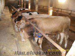 hayvan sulugu inek hayvan sulukları garantili