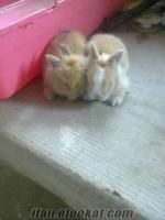 satılık yeni zelanda kaliforniya hollanda lop cüceaslanbaşcinsi yavru tavşan