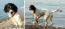 kumburgazda kayıp av köpeği