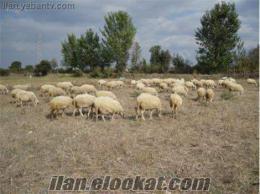 sakaryada sahibinden satılık koyunlar