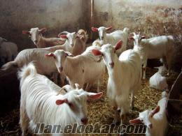 balıkesir kepsut karagööz köyünde satılık saanen keçi