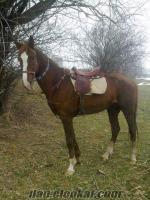 afyondan satılık safkan arap atı 3 ayagı al beyazlı alnı çakal