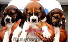 Beagle (bigıl) YAVRULARIMIZ