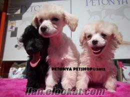 satılık poddle toy yavruları