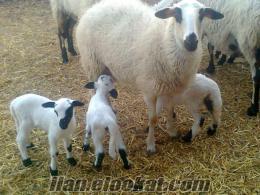 34 ad. gebe safkan çeşme sakız koyunlarım sahibinden acil satılıktır