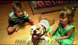 satılık yurt dısından safkan ingiliz bulldog