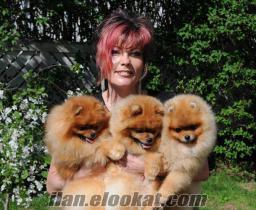 Pomeranian Boo Minik Irk Pomerian Erkek ve Dişi Yavrularımız