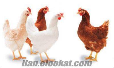 Bursa Akçalar satılık tavuk