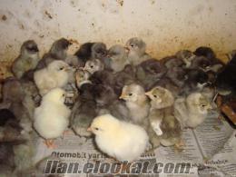 beyaz-blue-siyah satılık australorp civcivleri