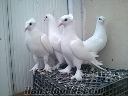 Kamanda satılık taklacı güvercin