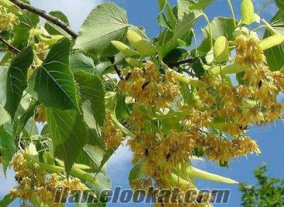 İnegöl ıhlamur çiçeği
