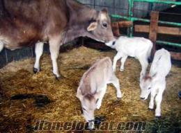 Bereket çiftliği damızlık süt inekleri ve damızlık dana ve düve
