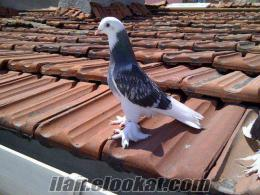 Takla Miski Güvercinleri