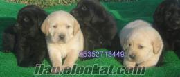 Labrador Retriever YAVRULARIMIZ