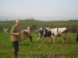 Sakarya Hendekde inek