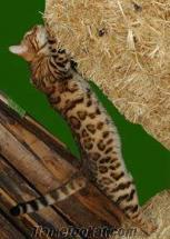 Bengal leopar desenli kedi yavrulari