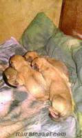 Ünyede kırma köpek