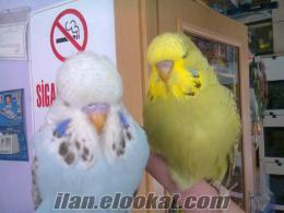 satlık muhabbet kuşları ve yavrular