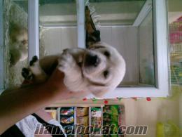 turkbullsdan satılık labrodor retriever yavruları...