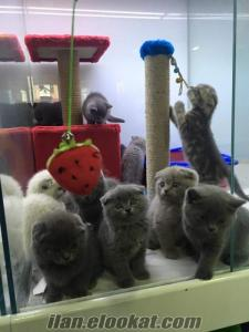 10 ADET SCOTTISH FOLD VE BRITISH SHORTHAIR ANK