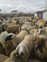 Çoban Aranıyorum.Konya