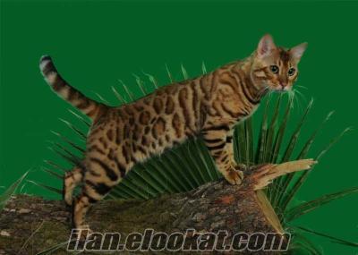 Bengal leopar desenli kedi yavrulari 3 erkek