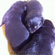 satılık 2 haftalık rot yavruları