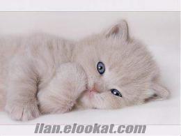 Lütfen Küçük Bir İran Kediciği!
