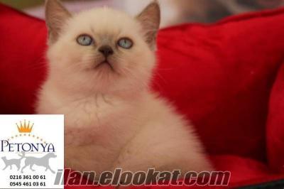 satılık british shorthair yavruları blue point yavruları