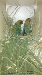 acil50 günlük cennet papaganları