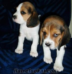 beagle yavruları