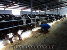 satılık banka kredisine uygun damızlık inekler