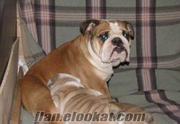 ingiliz bulldog yavrulari