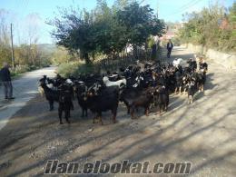 Çaycumada satılık kara keçi