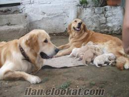 Kocaeli/ Satılık Safkan Golden Retriever Yavruları