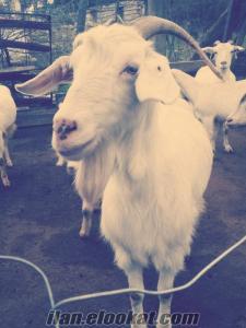 izmir bergamadan sahiplendirilecek süt keçileri