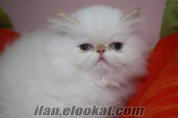 satılık iran kedisi yavruları teleskop pet