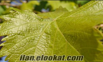 Manisa Muradiye asma yaprağı