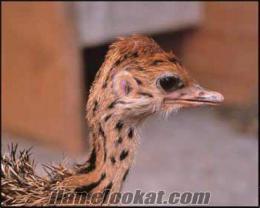 satılık deve kuşu yavruları ve yumurtaları