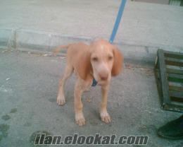 DENİZLİDEN sahibinden satılık macar cinsi buldan sarı kuşcu av köpeği