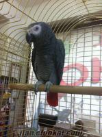 satılık jako papağan JAKO PAPAĞANI SATILIK JAKO