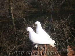 Ordu Gülyalıda satılık güvercin